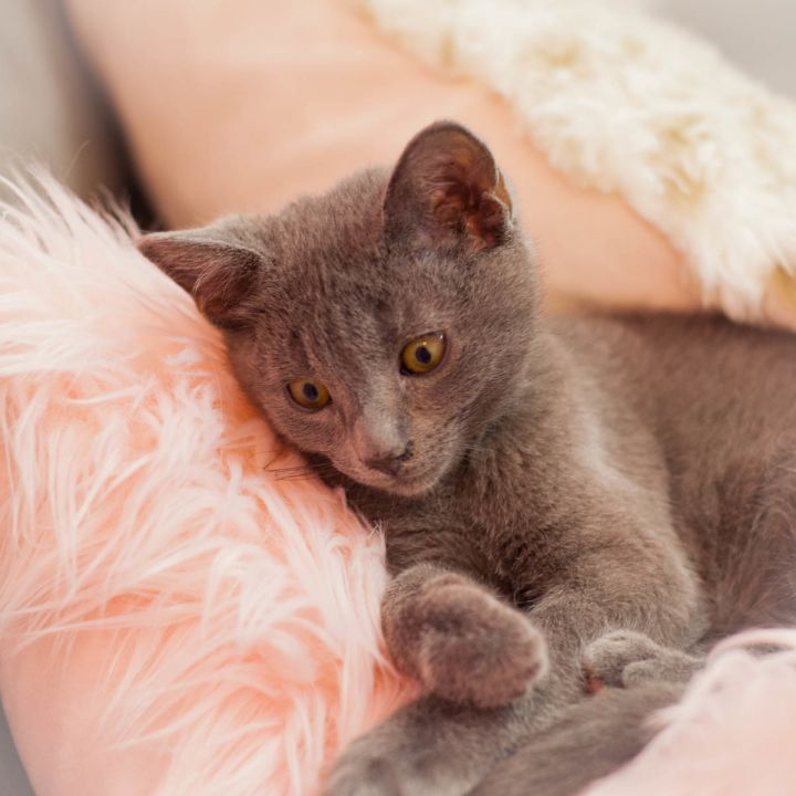 Maverick Malone, an adopted Russian Blue Mix in Ponte Vedra, FL_image-2