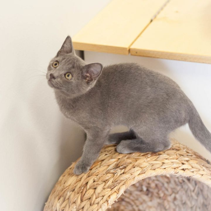 Maverick Malone, an adopted Russian Blue Mix in Ponte Vedra, FL_image-3