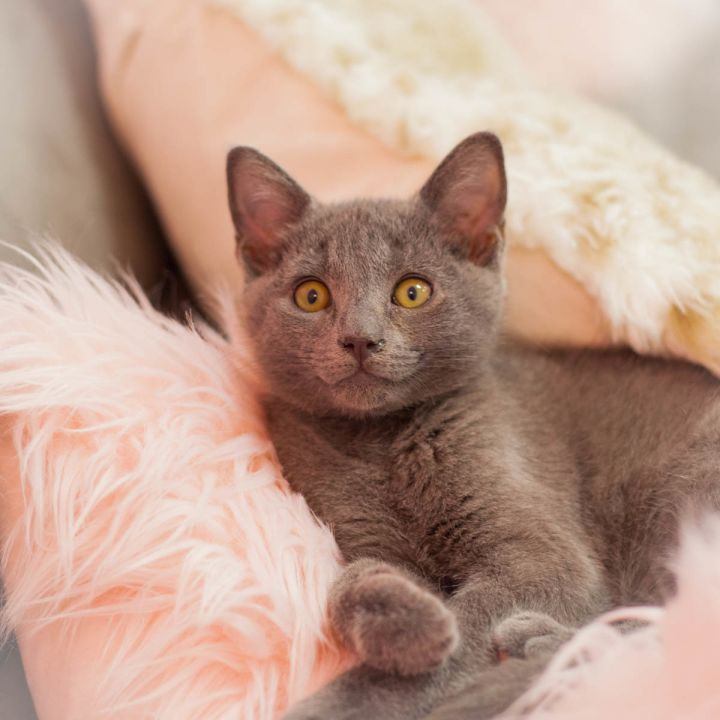 Maverick Malone, an adopted Russian Blue Mix in Ponte Vedra, FL_image-4
