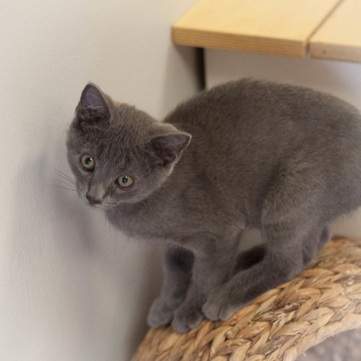 Maverick Malone, an adopted Russian Blue Mix in Ponte Vedra, FL_image-5