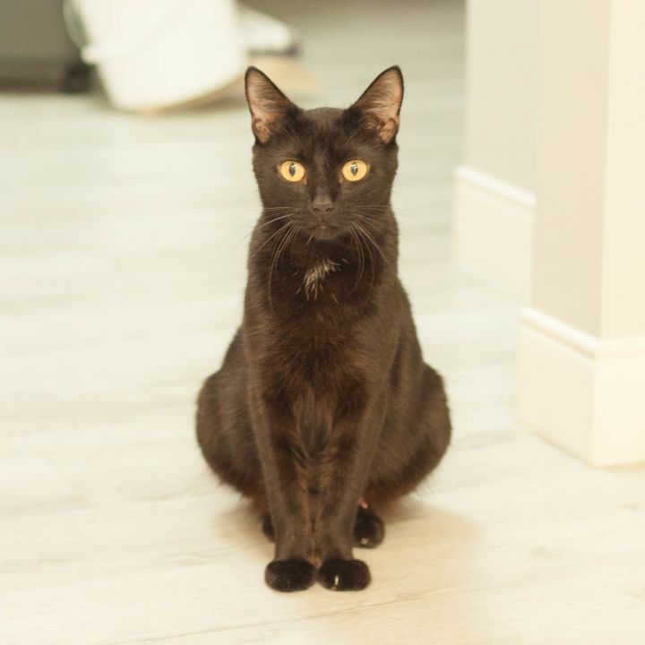 Fendi, an adoptable Domestic Short Hair in Ponte Vedra, FL
