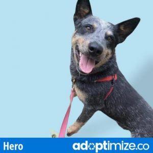 Hero Australian Cattle Dog / Blue Heeler Dog
