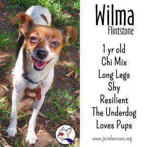 Wilma Flintstone Chihuahua Dog