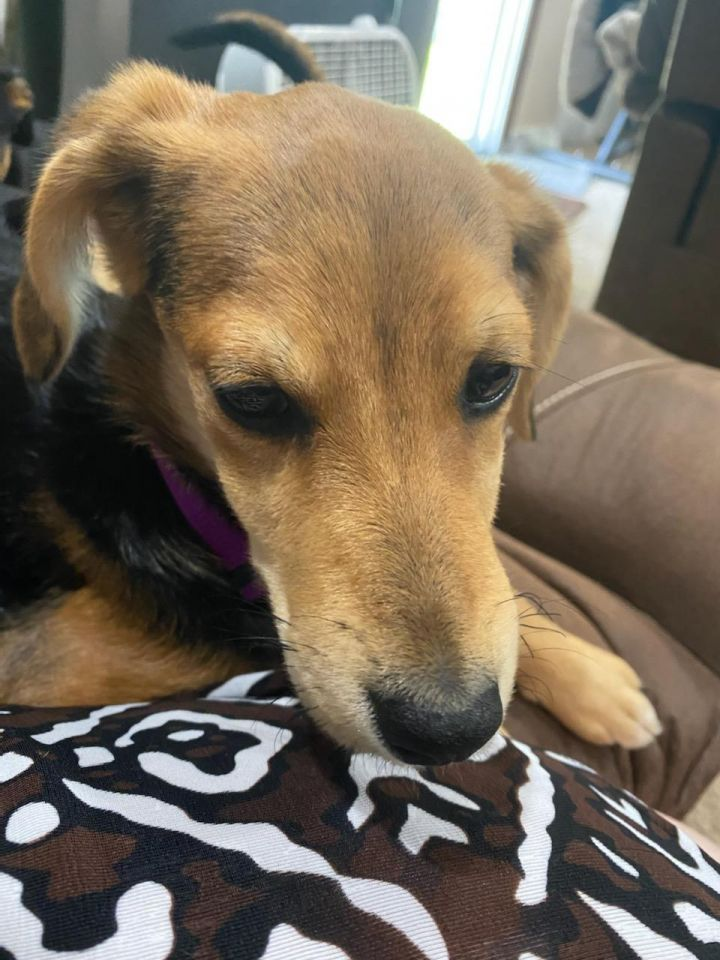 Fawn, an adopted Beagle & Terrier Mix in Maumee, OH