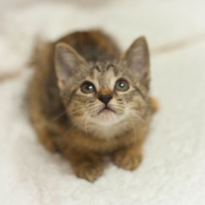 Fawn, an adopted Abyssinian & Tortoiseshell Mix in Ponte Vedra, FL_image-2