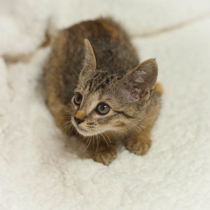 Fawn, an adopted Abyssinian & Tortoiseshell Mix in Ponte Vedra, FL_image-4
