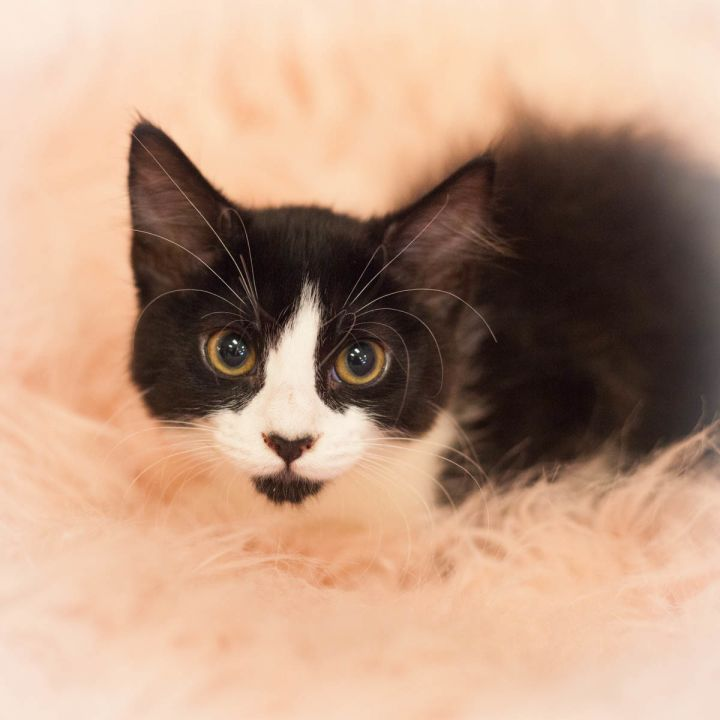 Isla, an adopted Tuxedo & Domestic Medium Hair Mix in Ponte Vedra, FL_image-2