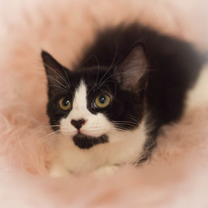 Isla, an adopted Tuxedo & Domestic Medium Hair Mix in Ponte Vedra, FL_image-1