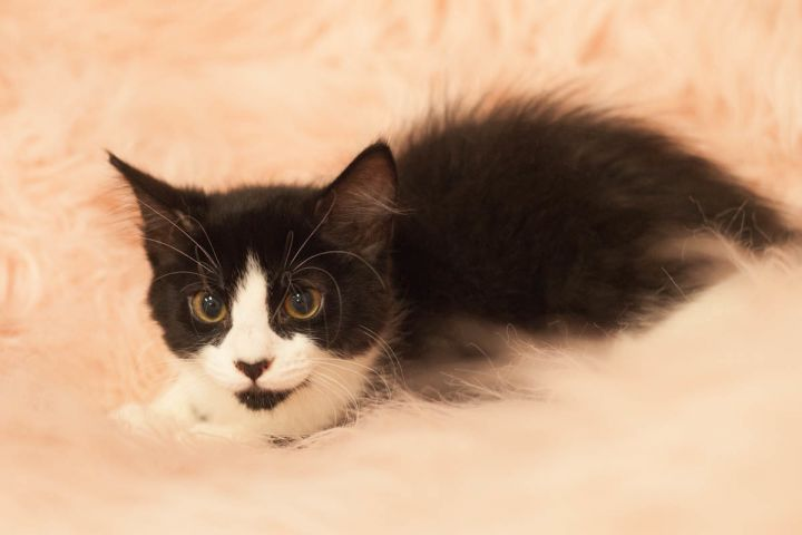 Isla, an adopted Tuxedo & Domestic Medium Hair Mix in Ponte Vedra, FL_image-3