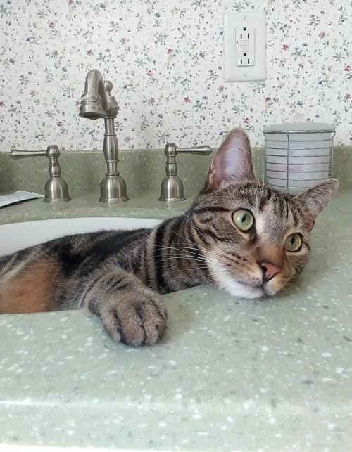 Kix Valentino, an adoptable Domestic Short Hair in Philadelphia, PA