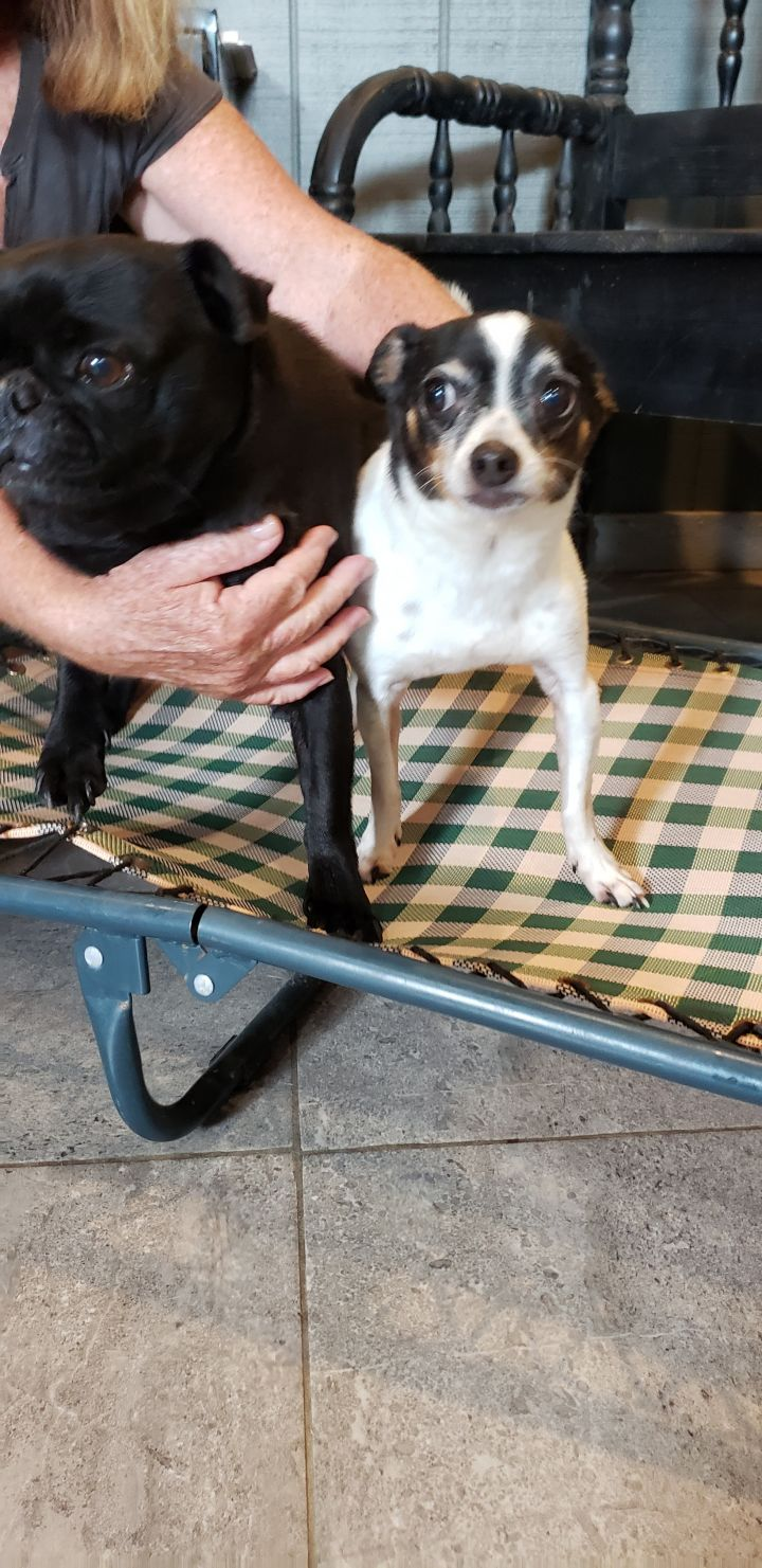 Spot, an adopted Chihuahua & Rat Terrier Mix in South Charleston, OH
