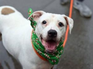 Meet Tallie Tallie is an 8-year-old LabPit Mix This gentle love bug wound up at the city shelter a