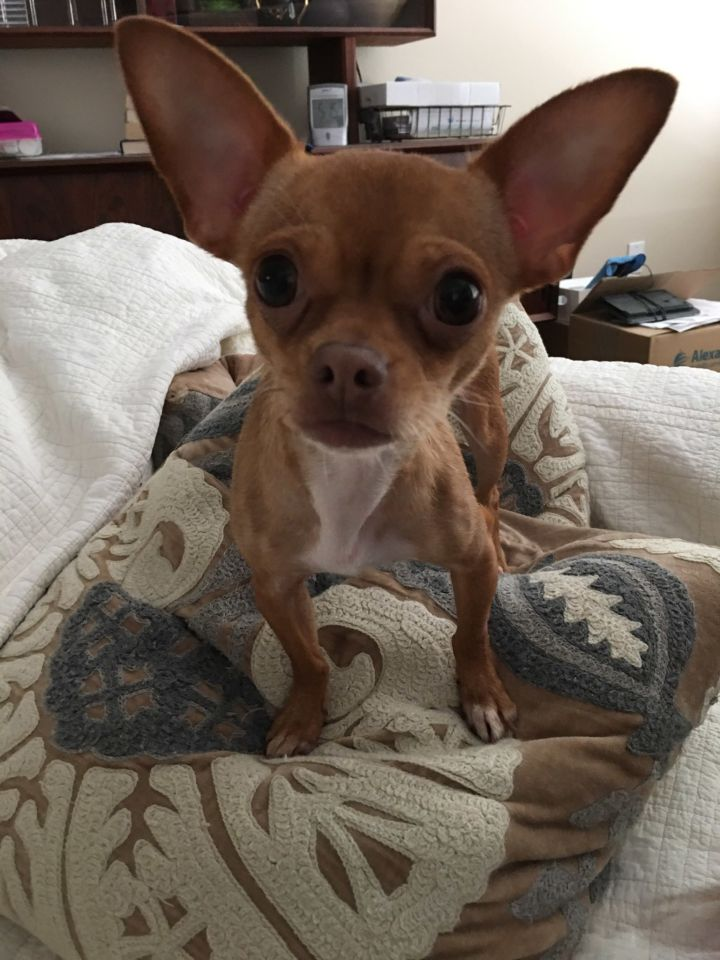 Lola, an adopted Chihuahua in Cypress, TX