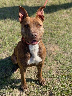 Meet Cora This stunning red brindle girl is the perfect mix of beauty brains and brawn Cora is es