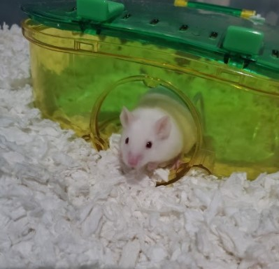 Lapel, an adoptable Mouse in Saint Paul, MN