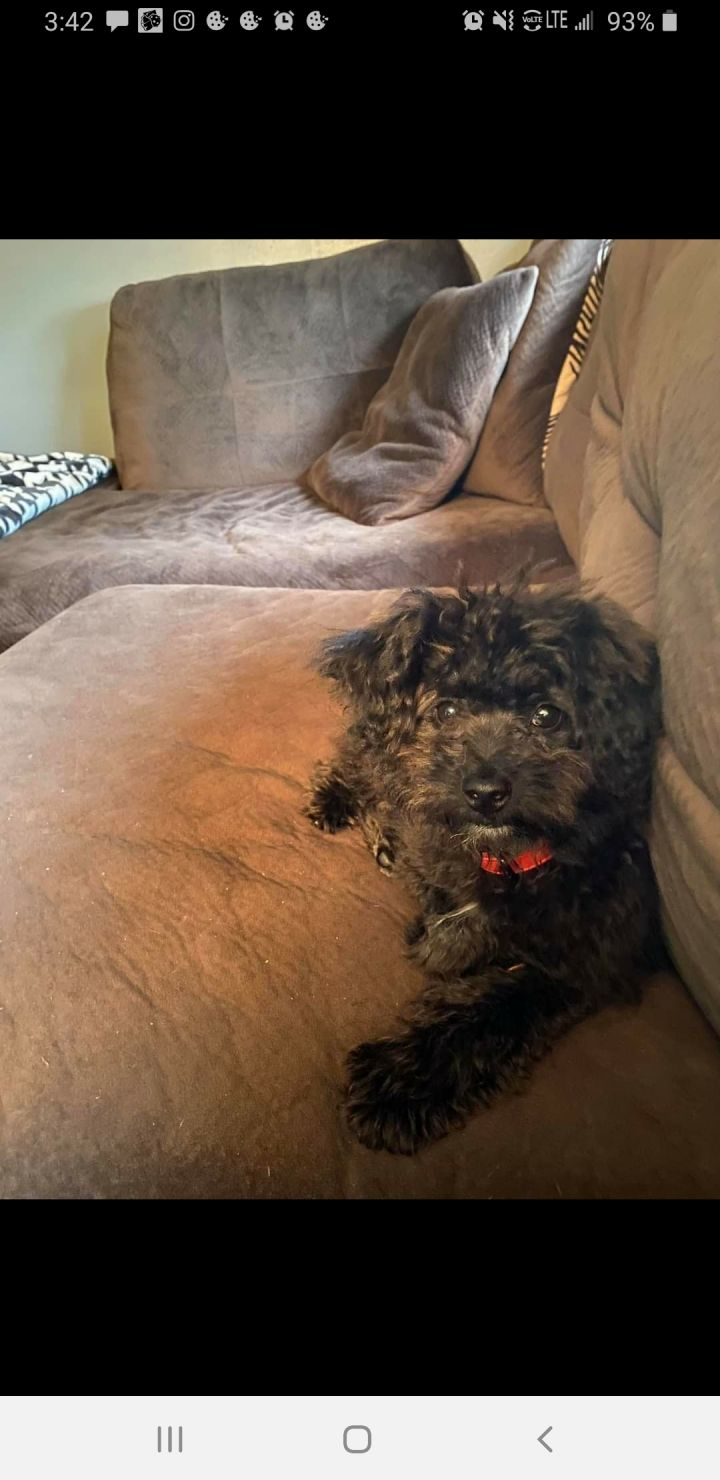 Benji, an adopted Cavapoo in South Charleston, OH