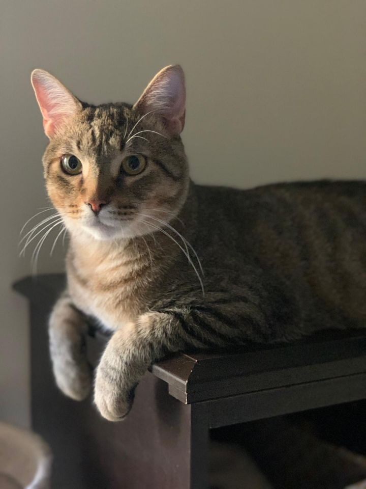 Topaz, an adoptable Domestic Short Hair in Frankfort, IL