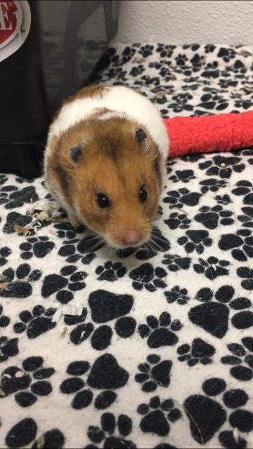 Pele, an adoptable Hamster in Moscow, ID