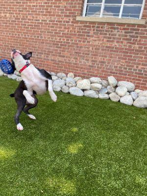 Emmie Boxer Dog