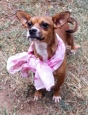 Los Angeles Ca Boston Terrier Puppies On Recycler Com