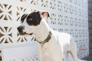Hi meet Barbie Barbie is a 3 year old Pointer mix She is a beautiful sweet and goofy girl She