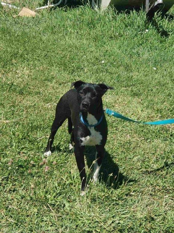 Dog For Adoption Banner A Pit Bull Terrier Mix In Eagle Id Petfinder