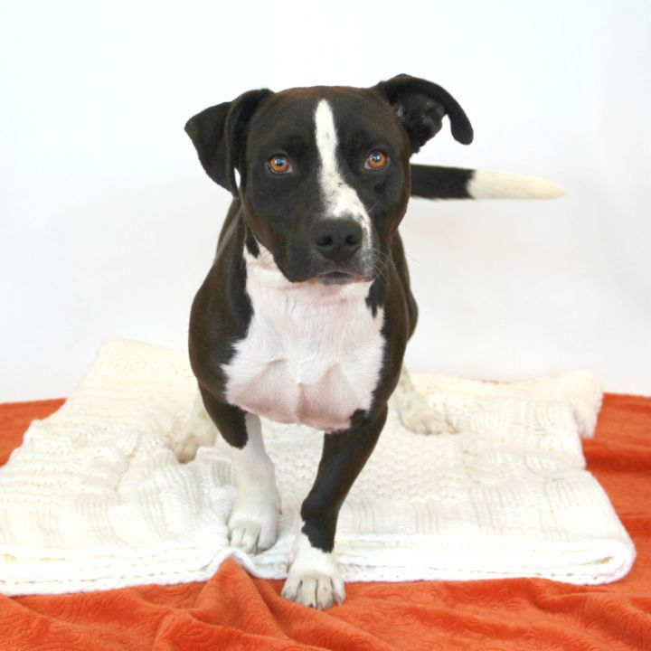 James, an adoptable Pit Bull Terrier Mix in Clovis, CA
