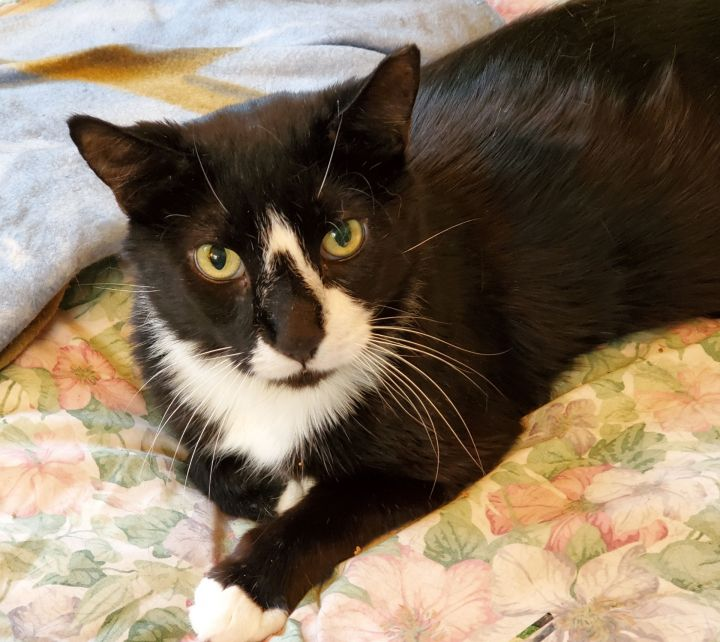 Freddie, an adoptable Domestic Short Hair & Tuxedo Mix in Miami, FL