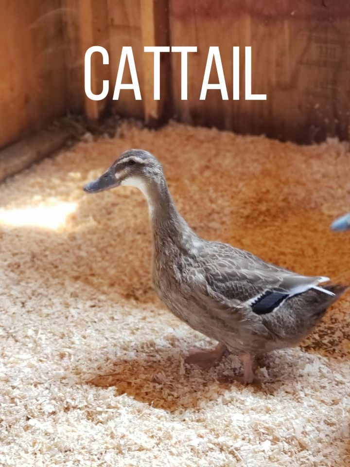 Cattail, Bramble & Reed, an adoptable Duck in Jacksonville, OR