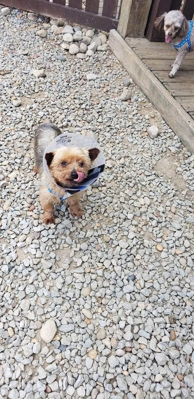 Rory, an adopted Yorkshire Terrier in South Charleston, OH