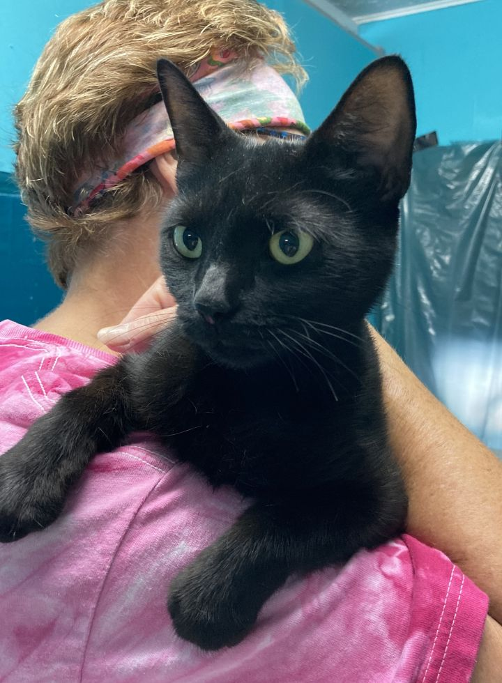 Queen, an adopted Domestic Short Hair in Spencer, IN