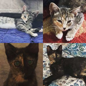 Lulu - dilute calico Chloe - tortie Brody - tabbywhite Romeo - all black These little ones are 3 mo