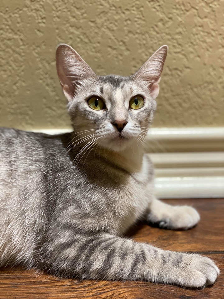 Wonder Woman, an adoptable Abyssinian & Domestic Short Hair Mix in Tyler, TX
