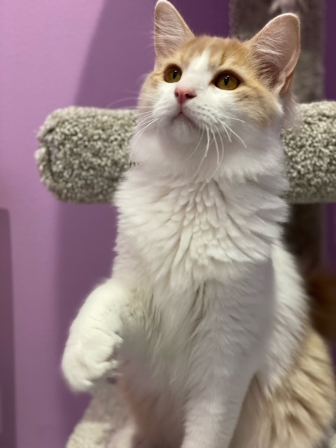 Flash, an adoptable Domestic Medium Hair in Tyler, TX