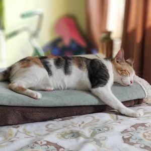 Nadia 2-3 yrs is your typical calico girl she loves pets snuggles and hanging out with her human