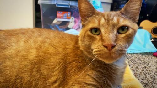 Tino, an adoptable Domestic Short Hair Mix in Trenton, NJ