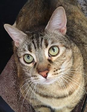 Hi Im Coco I was rescued at Sacramento SPCA Im a big and beautiful kitty with lots of love to