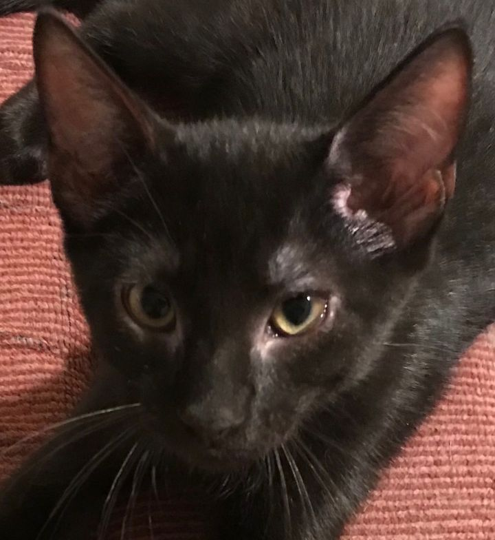 Tucker (Special Adoption Fee), an adoptable Domestic Short Hair in Smithfield, NC