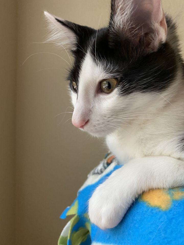Ace, an adopted Domestic Medium Hair Mix in Elk Grove, CA