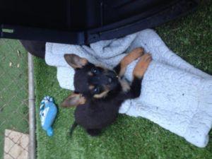 Little bit-puppy