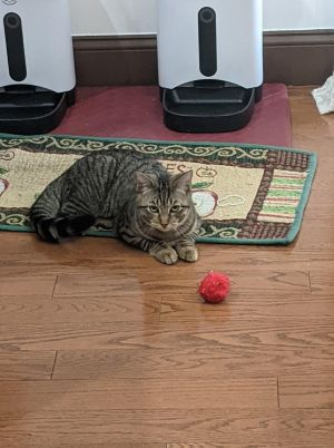 Meet Missy Missy is a DSH and is about 6months old She is looking for a fureve