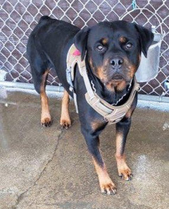 Luna, an adopted Rottweiler in Portland, OR