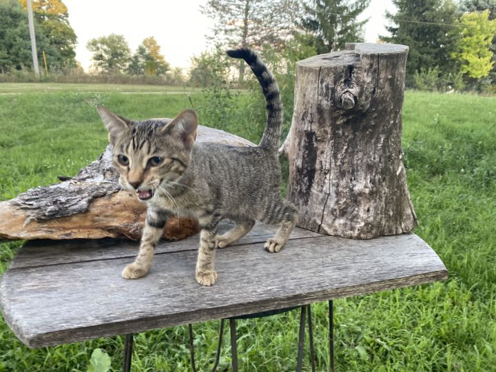 Cool Tabby, an adoptable Domestic Short Hair in Eaton Rapids, MI