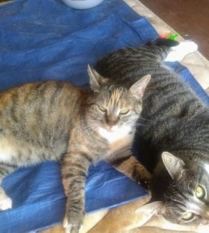 Sandy  Tammy are beautiful sweet 2-3 year old cats and would make a great addition to a forever ho