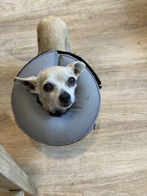 Chili Chihuahua Dog