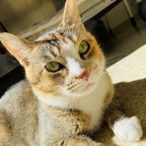 Mamita Domestic Short Hair Cat