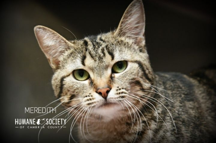 Meredith, an adoptable Domestic Short Hair in Johnstown, PA