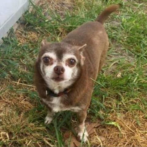 Sparky, an adoptable Chihuahua in Fort Lauderdale, FL_image-1