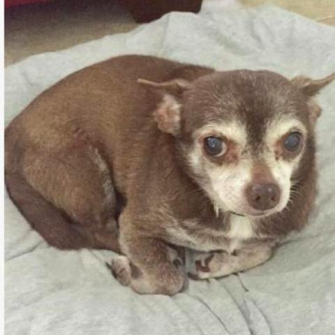 Sparky, an adoptable Chihuahua in Fort Lauderdale, FL_image-3