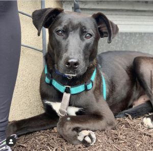 PATRICK 9 months old lab shepherd mix 40 lbs around 55 lbs full grown NEEDS home out of the ci